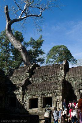 Tree of Ta Prohm