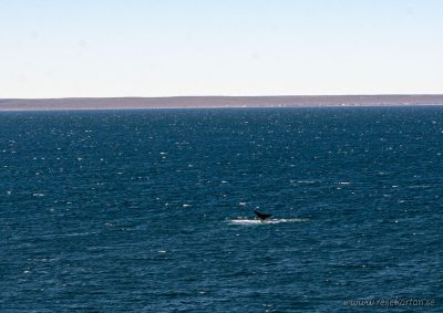 A whale at Puerto Madryn