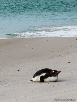 Lazy penguin at Leopard Beach
