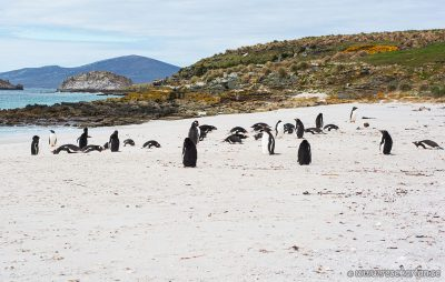 Penguins at Leopard Beach