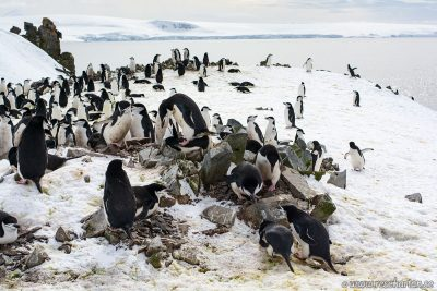 A penguin give massage at a nest,, Half Moon Island