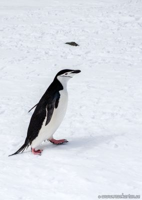 A penguin walk, Half Moon Island