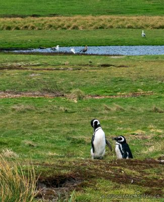Penguins close to Leopard Beach, Carscass Island
